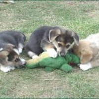 Harci kutyák