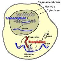A D-vitamin hatása a génműködésre