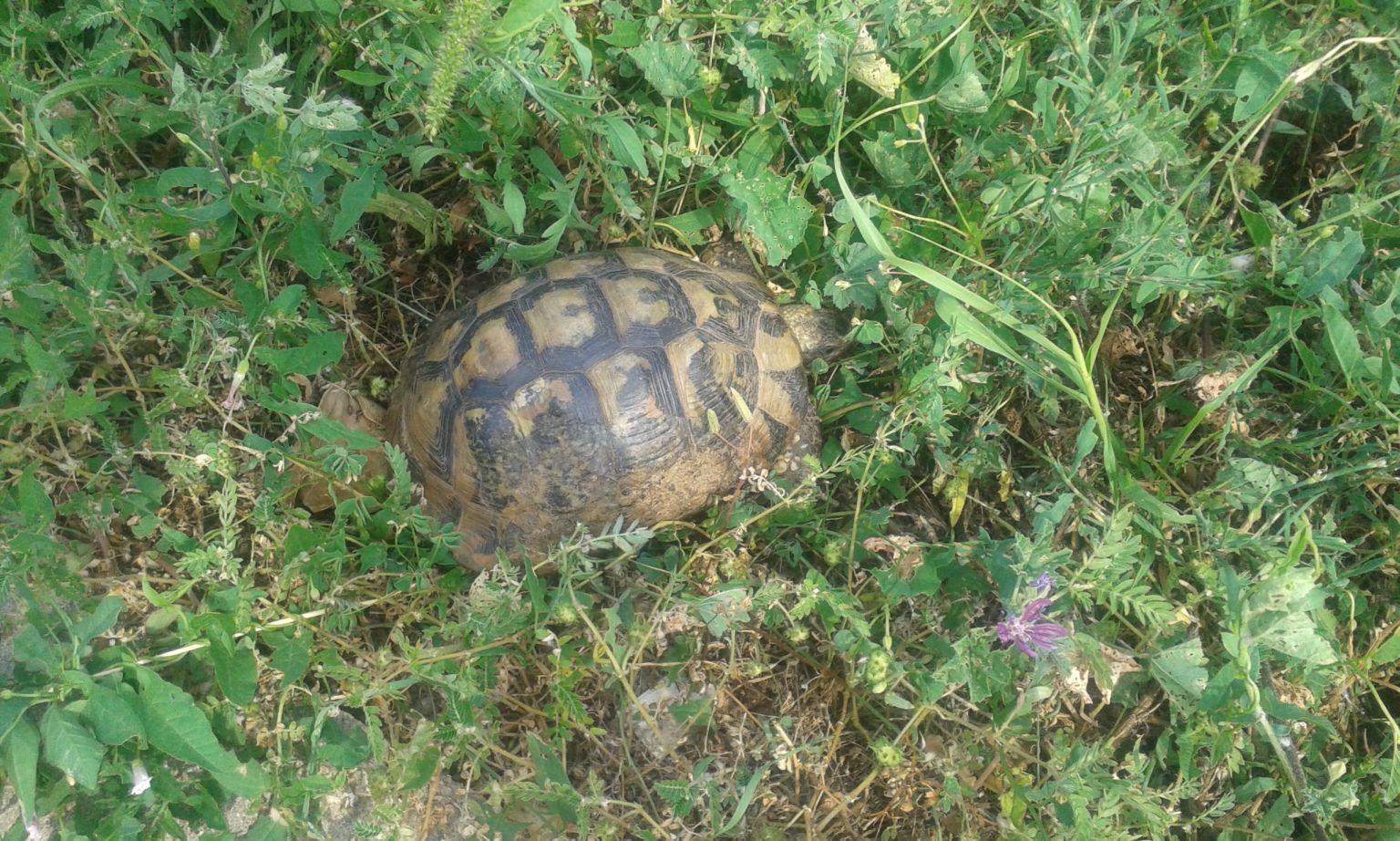 A megmentett teknős