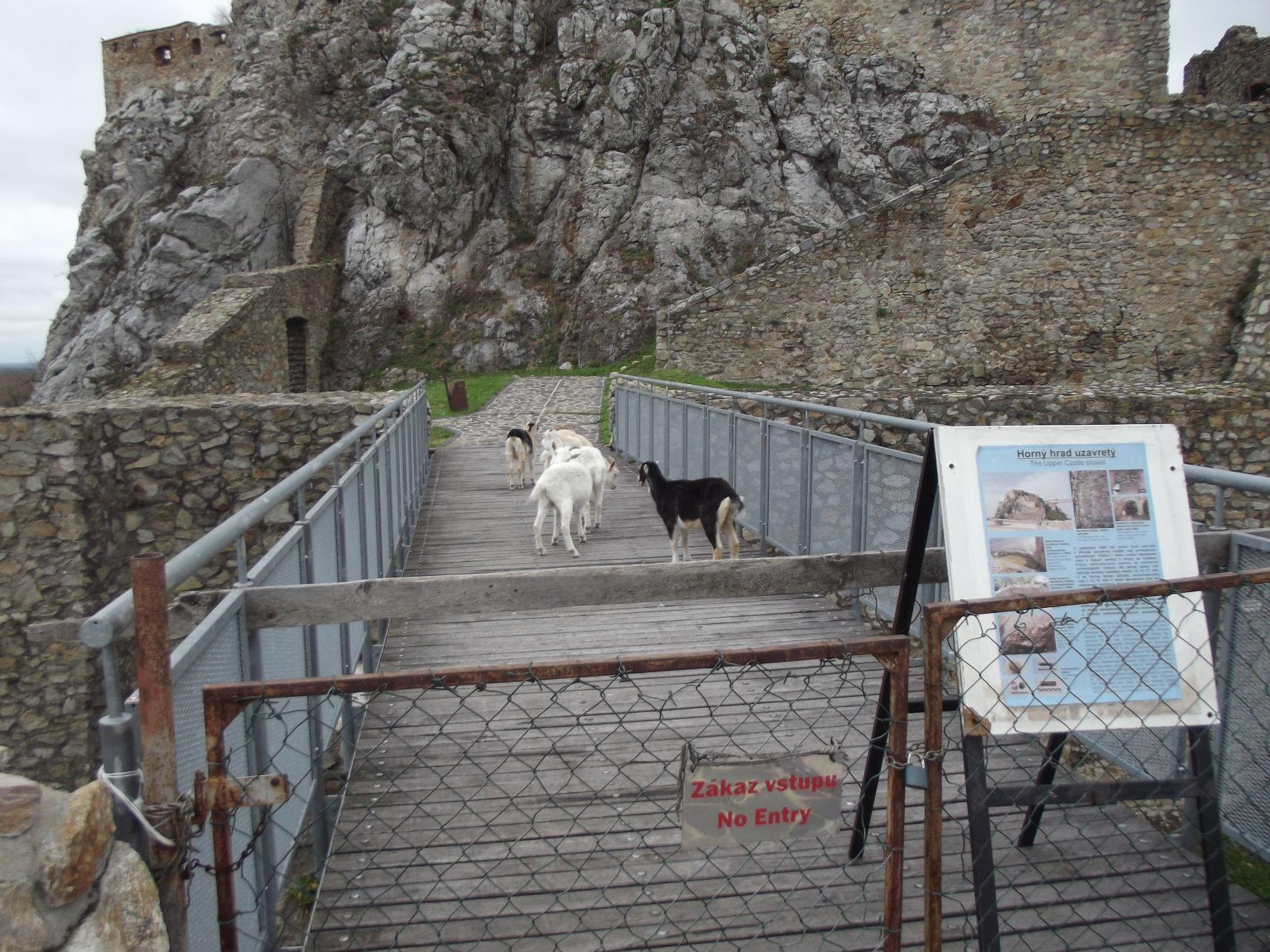 A vár felső részének urai a kecskék