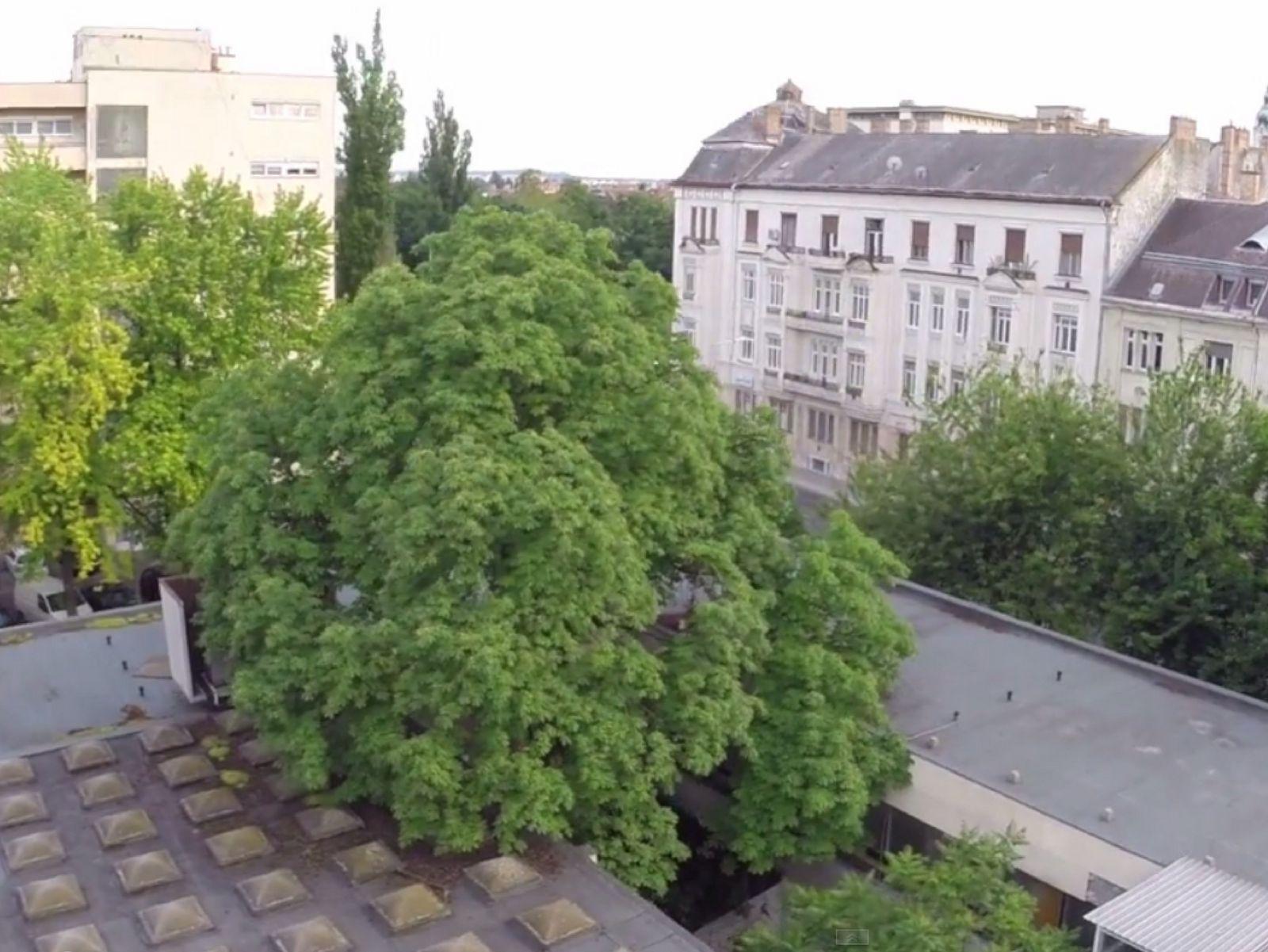 Győr - Körbeépített Vadgesztenyefa