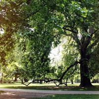 The Wonderful Plane Trees of the Margaret Island