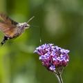 Kolibrik Magyarországon?