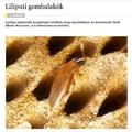 Liliputi gombalakók