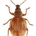 A Bakony egyetlen bennszülött bogárfaja, a bakonyi gyepormányos