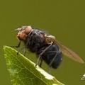 Miért hasznosak bizonyos legyek és a szúnyogok nekünk, embereknek? – II. rész