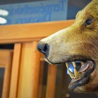 Kázmér, a múzeum barnamedvéje