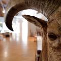 Sörényes juh - A múzeum bárkájának kapuőre