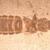 A legkorábbi ivari kétalakúság a bogaraknál