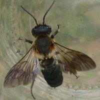 Új beporzó méhfaj a hazai rovarfaunában