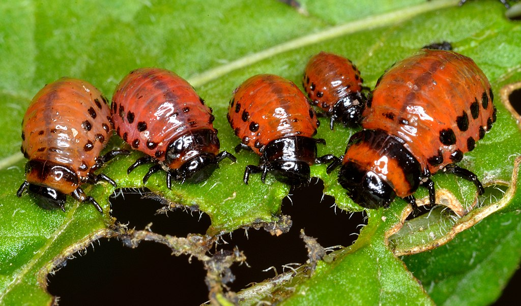 1024px-colorado_potato_beetle_larvas_leptinotarsa_decemlineata.jpg
