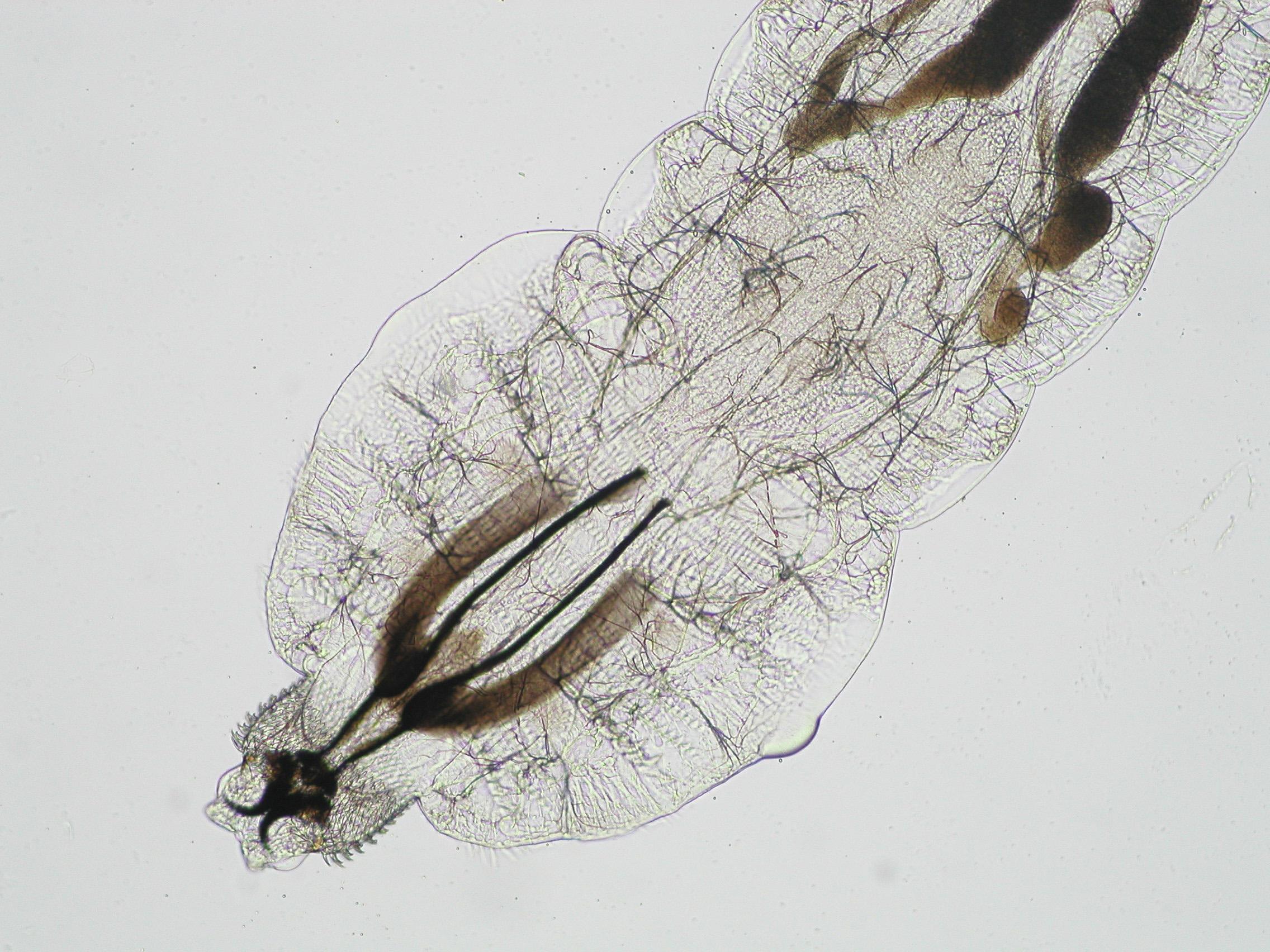 1_kep_pharyngomyia_picta_larva.jpg