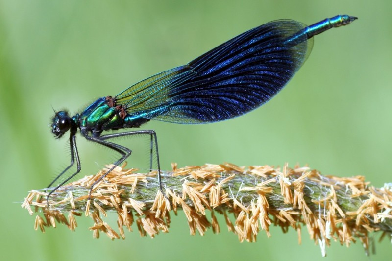 2_calopteryx_splendens_him.jpg
