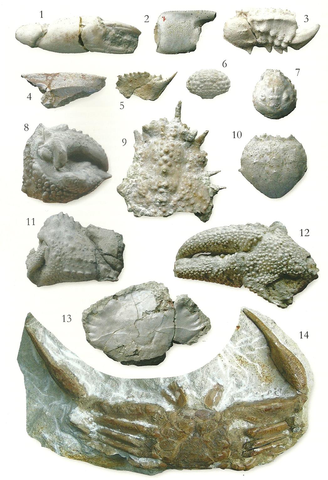fozy-szente-decapoda-geolitera-1.jpg
