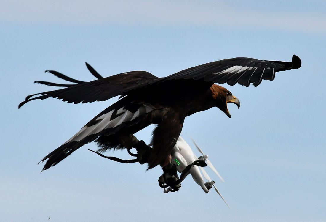 Drónok ellen szirti sast!