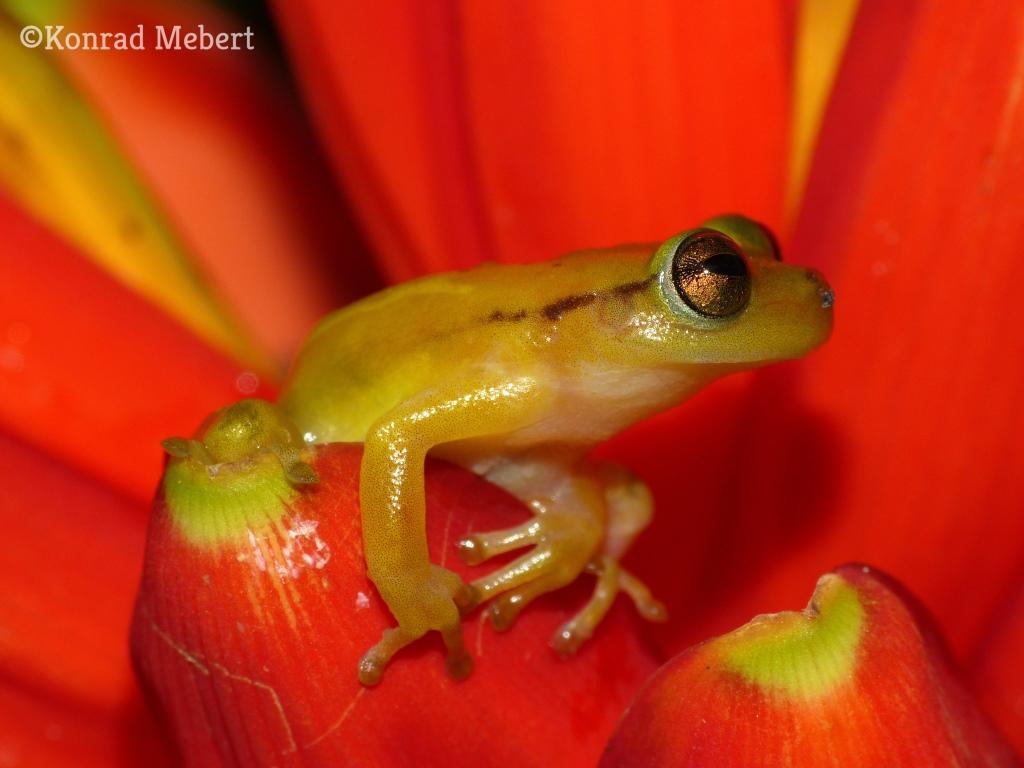 phyllodytes_cf_luteolus_michelin_eco_reserve_3.jpg