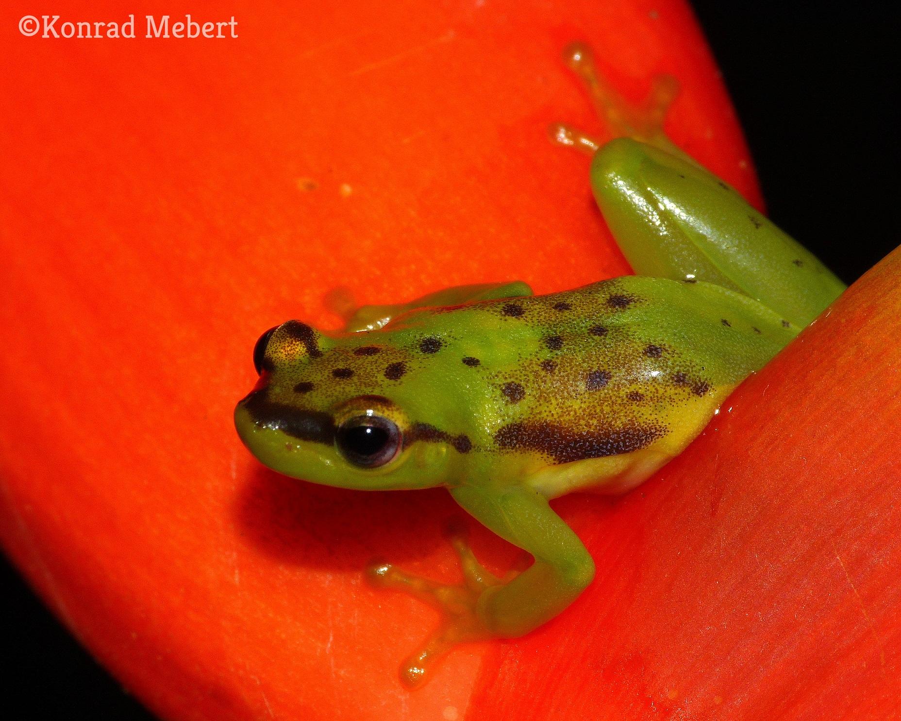 phyllodytes_melanomystax_michelin_eco_reserve_1_kisebb.jpg