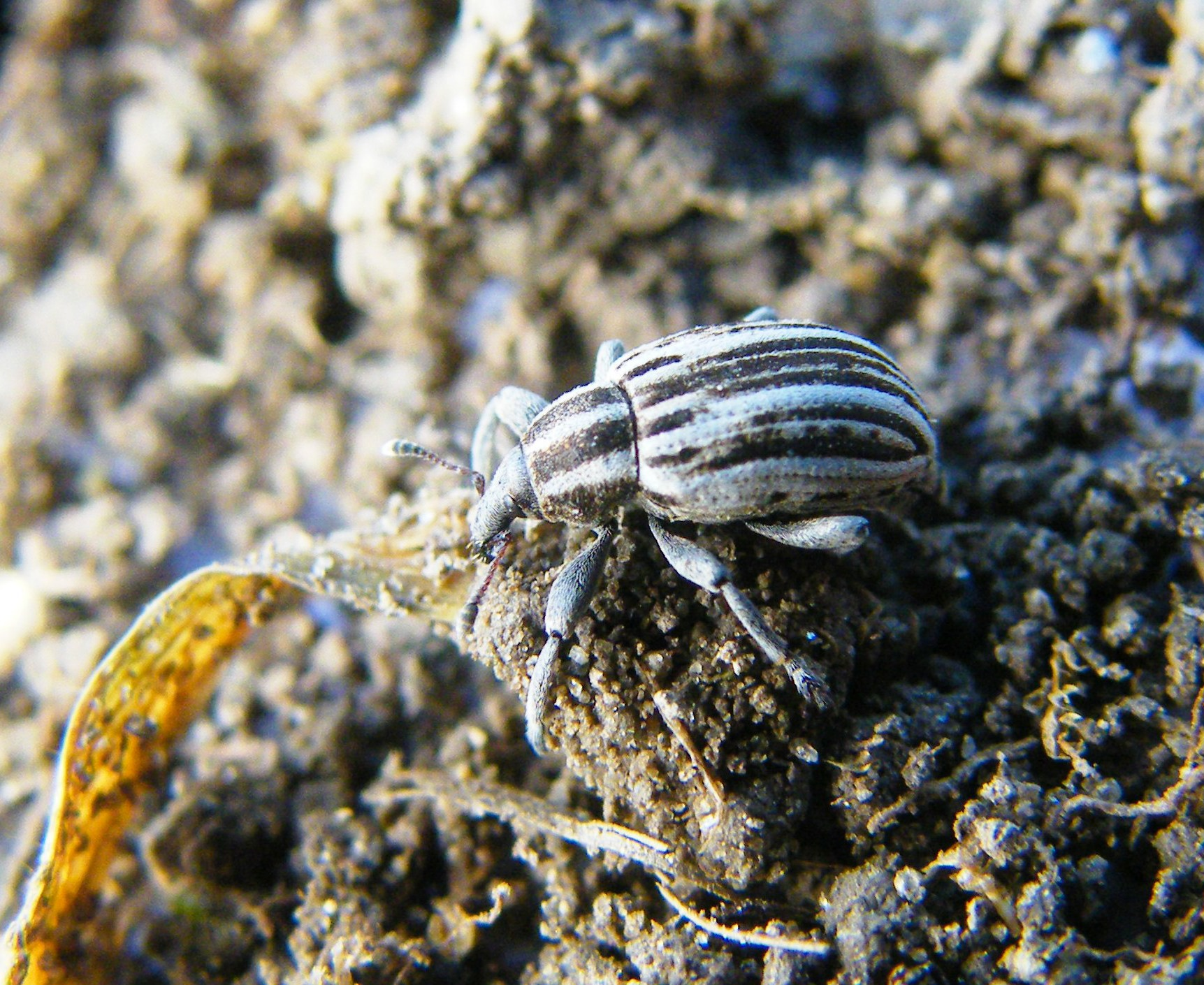 Kis bogár, amely nem élhet tömjénillat nélkül