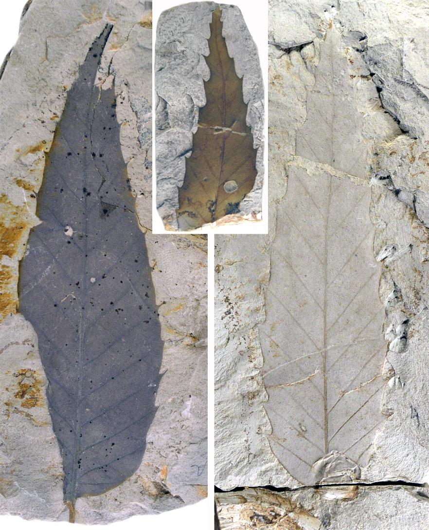 fosszilis_levelek_honap_mutargya_2020_jan_erdeib_5.jpg
