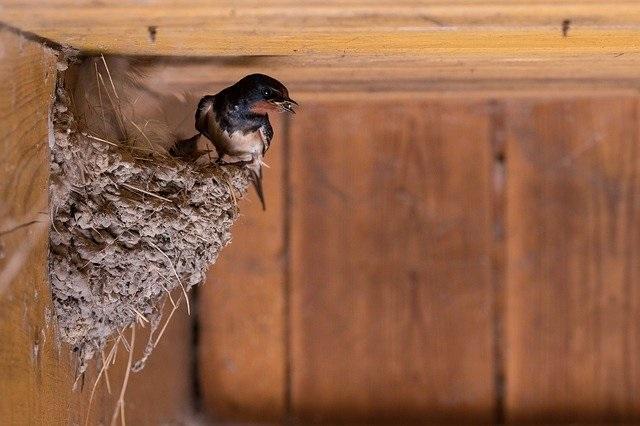 barn-swallow-4210842_640.jpg