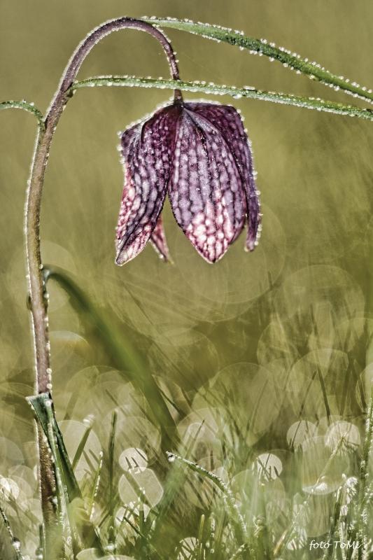 2. kép: Mocsári kockásliliom (Fritillaria meleagris) (fotó: Toldi Miklós)