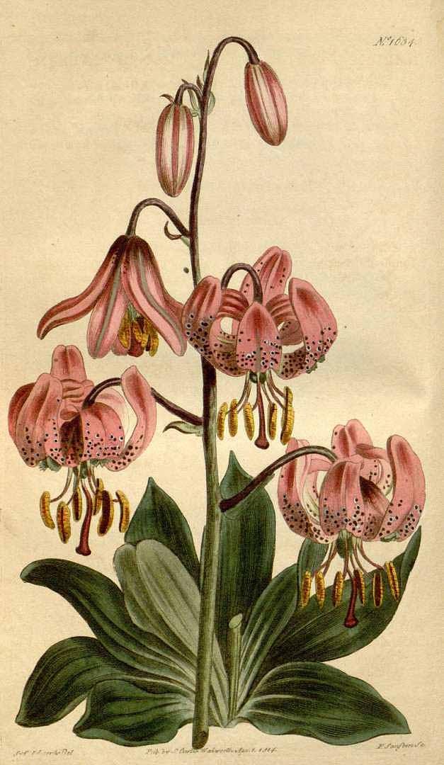 5. kép: A turbánliliom ábrája a Curtis's Botanical Magazine-ból 1814-ből (b)