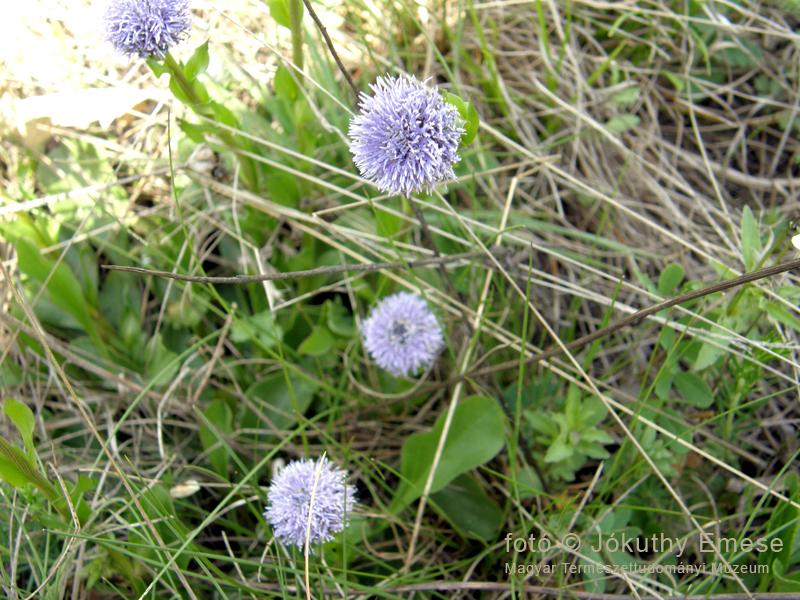 kép6_közönséges_gubóvirág_globularia_punctata_800_web_.jpg