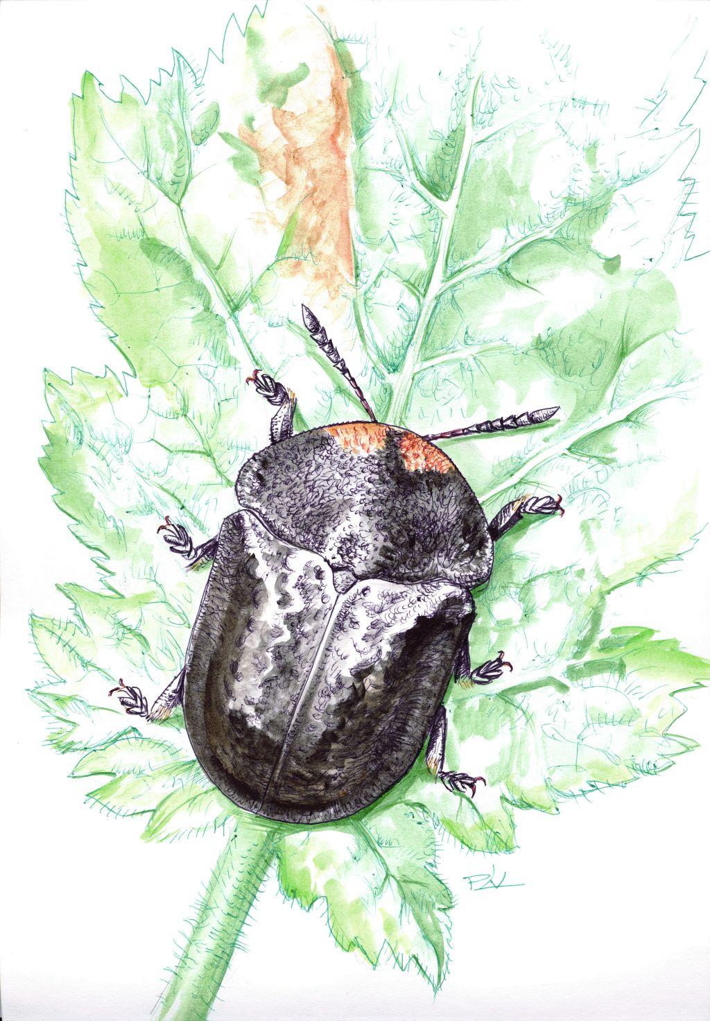 Fekete pajzsbogár (Cassida atrata)