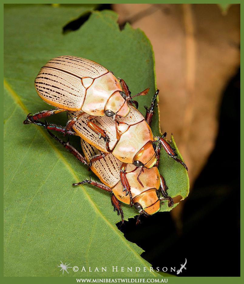 christmas-beetle-threesomeb.jpg