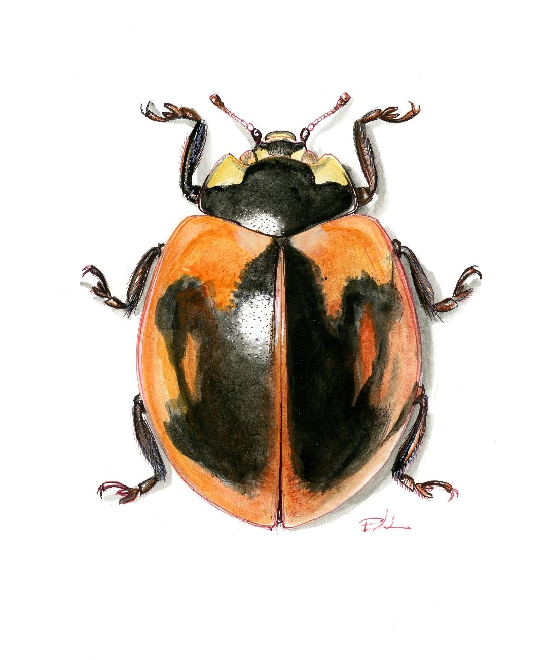 Coccinella septempunctata (Görögország: Szantoríni). Szantoríni szigetén a hétpettyes katicák túlnyomó többségén a fekete foltok nagy, közös mintává olvadtak össze. A jelenség oka a genetikai sodródás.