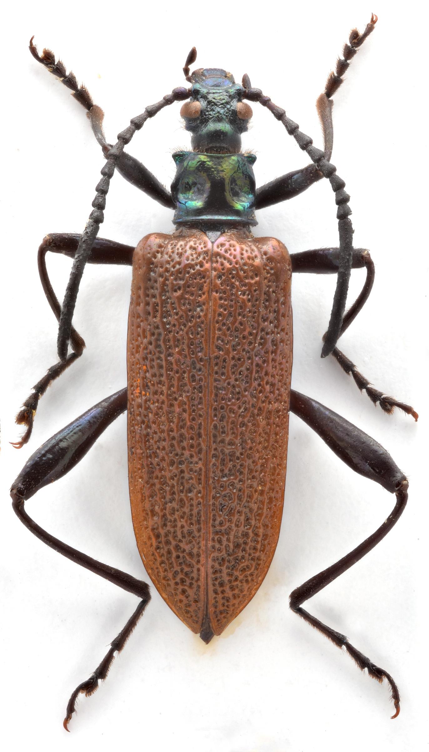 donaciolagria_medvedevi_male_holotype_kicsi.jpg