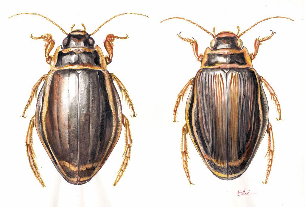 Óriás-csíkbogár (Dytiscus latissimus), hím és nőstény
