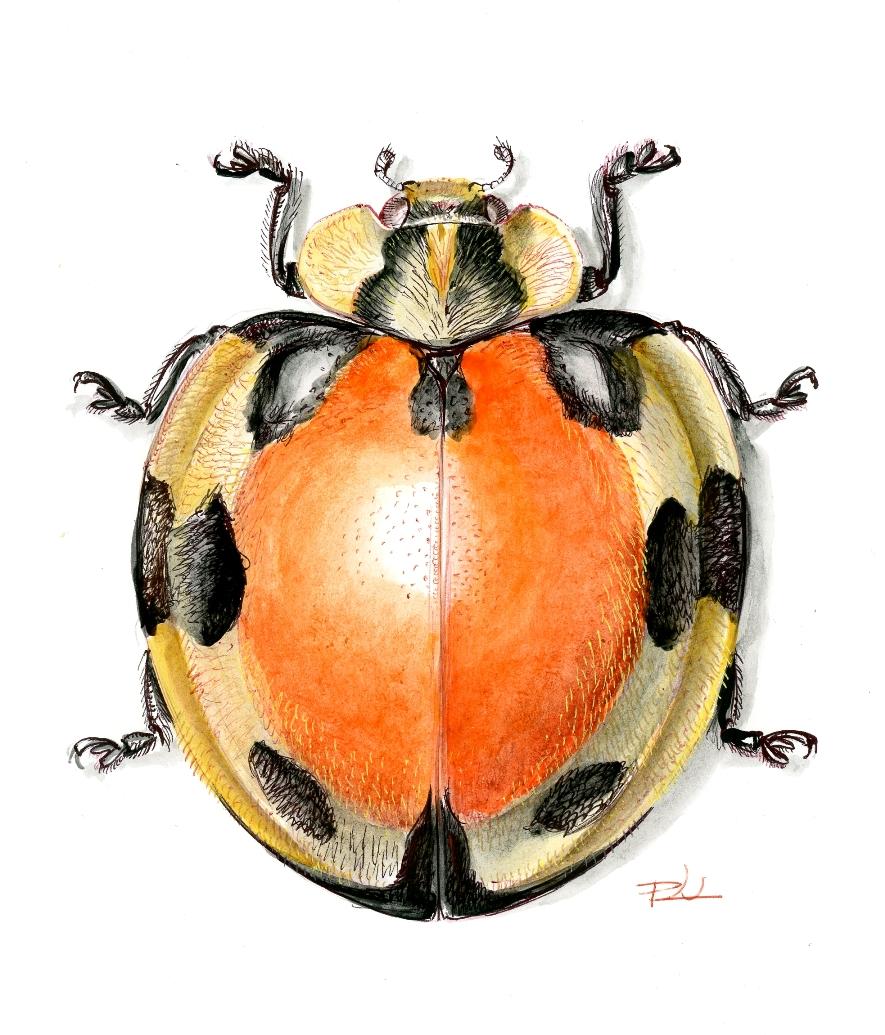 Epilachna oberthuri (Madagaszkár)