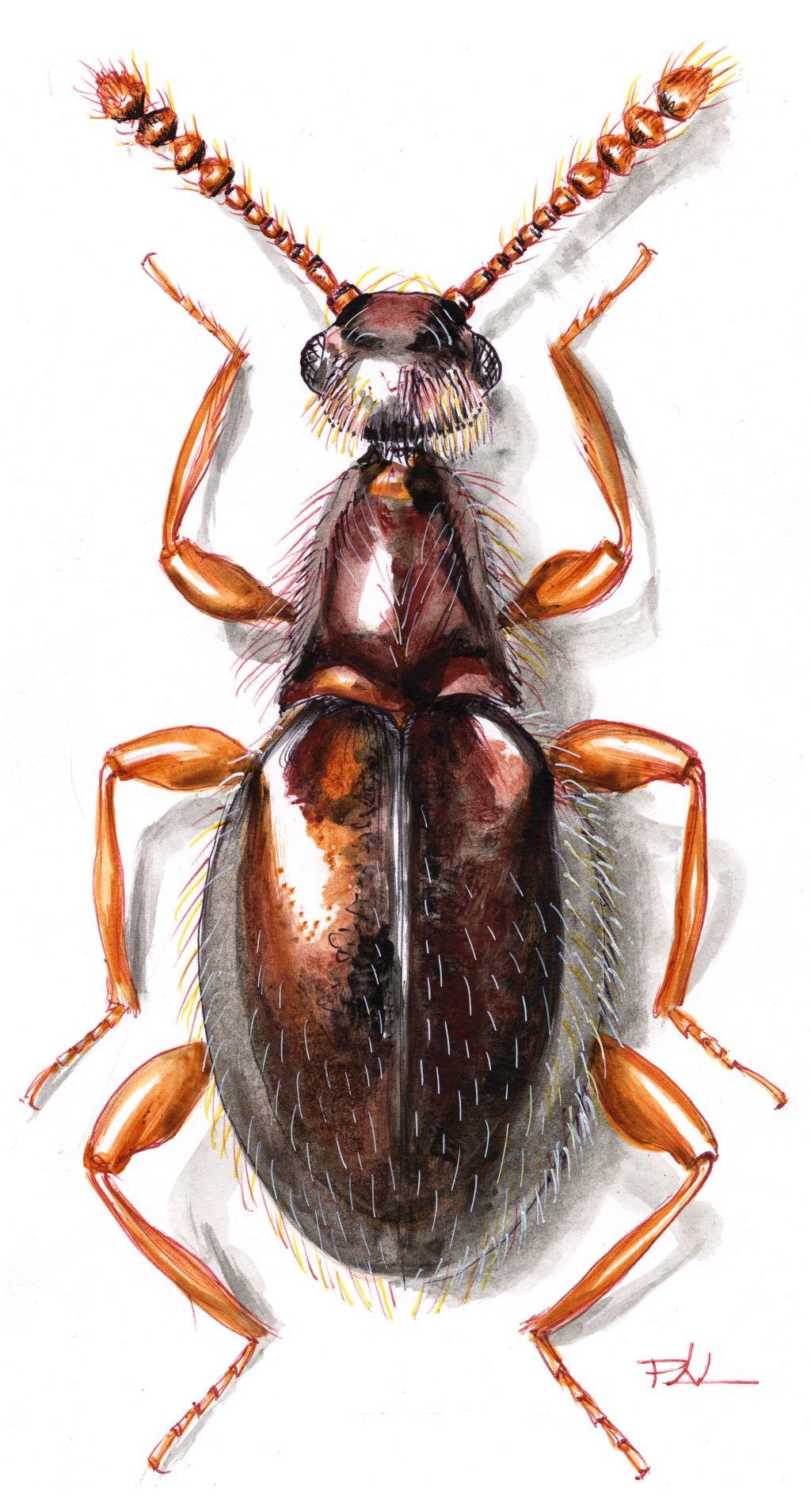Gesztenyebarna gödörkésbogár (Euconnus claviger)