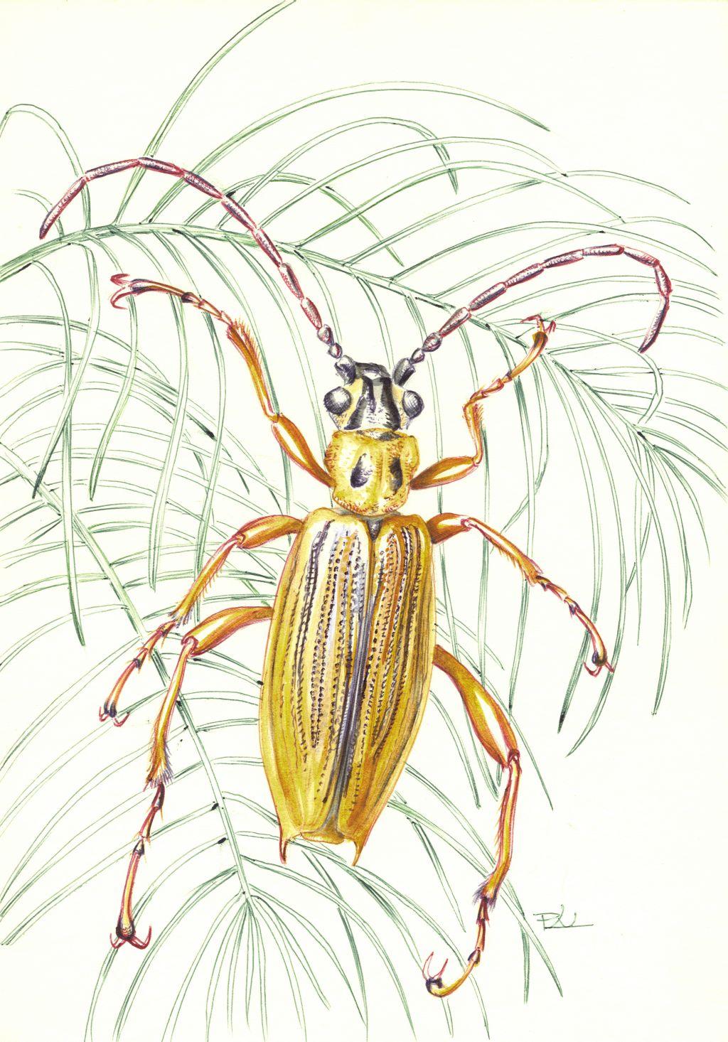Balatoni hínárbogár (Macroplea mutica)