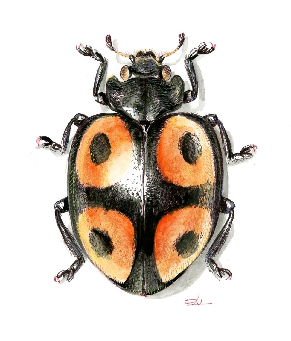 Henosepilachna tetracycla (Tanzánia)