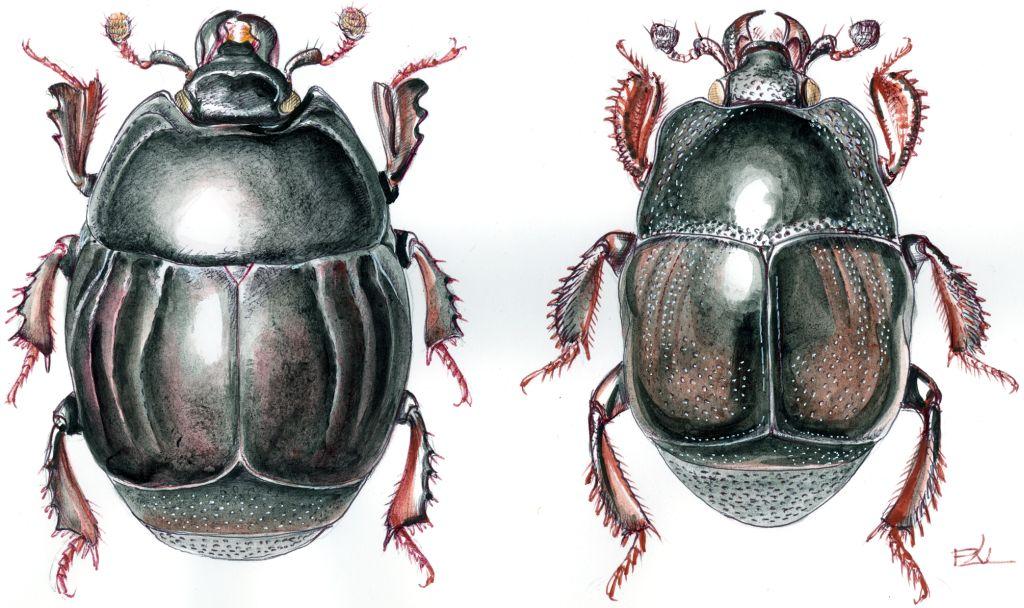Két sutabogár: Margarinotus-faj (balra) és Saprinus-faj (jobbra)