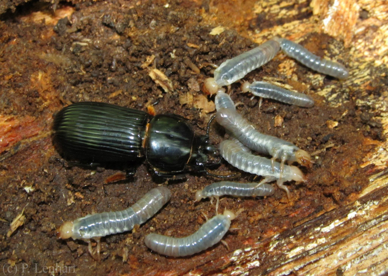 passalidae_parent_bess_beetle_with_larvae_paul_lenhart.jpg