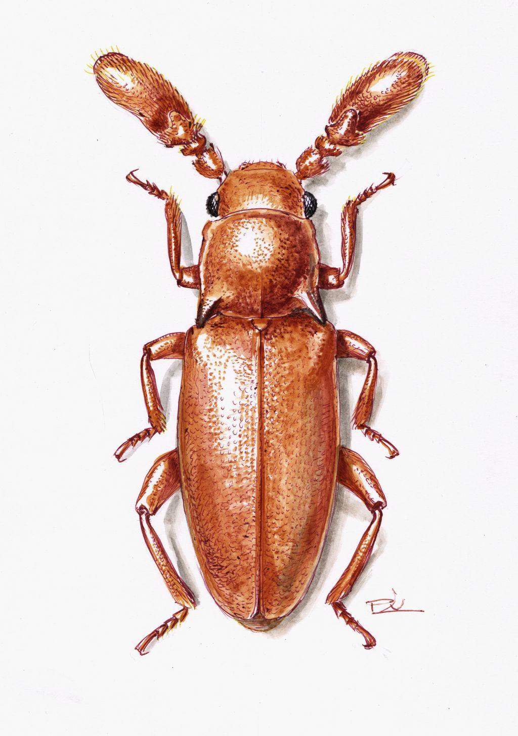 Hangyász álböde (Pleganophorus bispinosus )