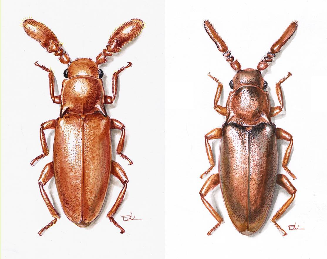 pleganophorus.jpg