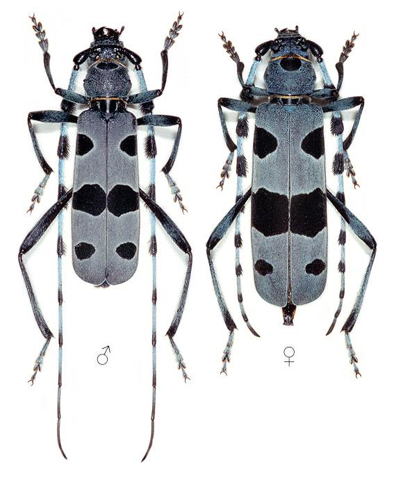 rosalia_alpina_male_female.png