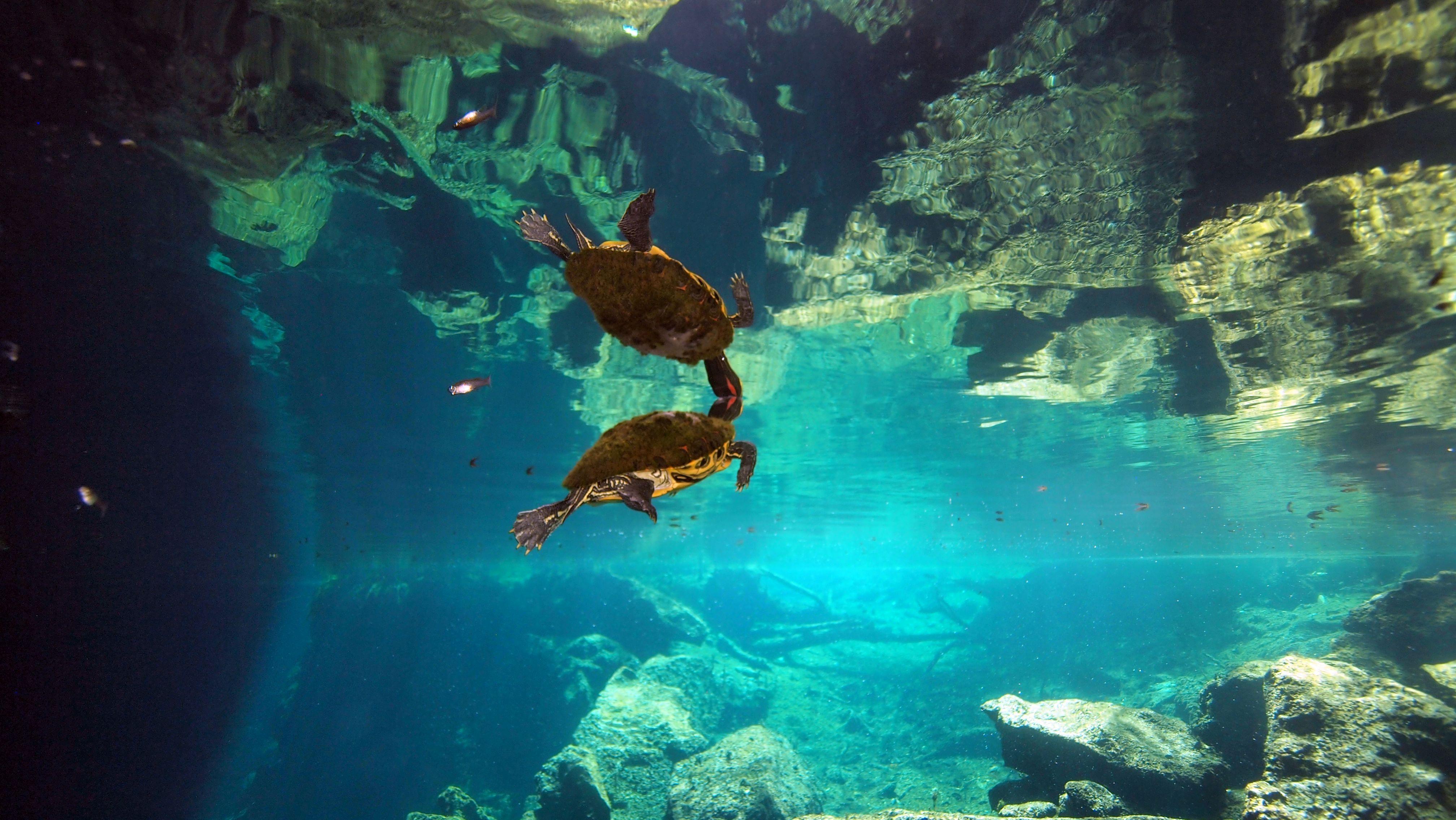 A Cenote Chac Mool bejárati régiójában gyakori látogatók az ékszerteknősök. Fotó J. Vega