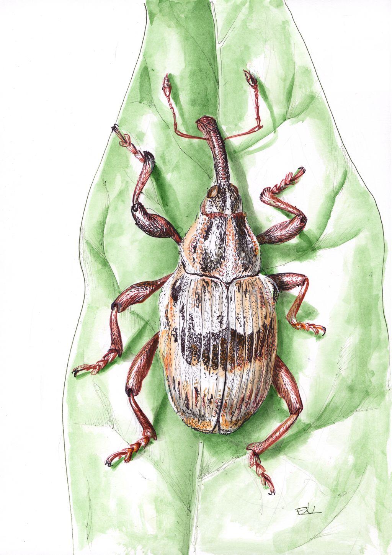 Díszes lizinkaormányos  (Tapeinotus sellatus)