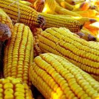 Génpiszkált kukorica: tovább dagadnak a hullámok