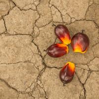 Pálmaolaj és vér: történelmi példa Nigériából