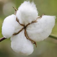 India: kudarcot vallott a génpiszkált gyapot, a gazdák kártérítést követelnek