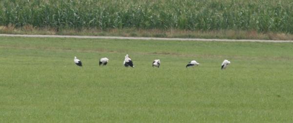 white-stork1.jpg