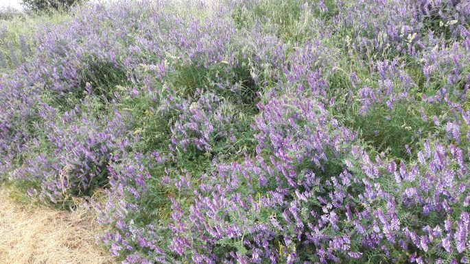 El camino, kék virágok