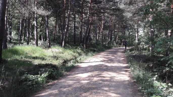 El camino, út fenyőkkel