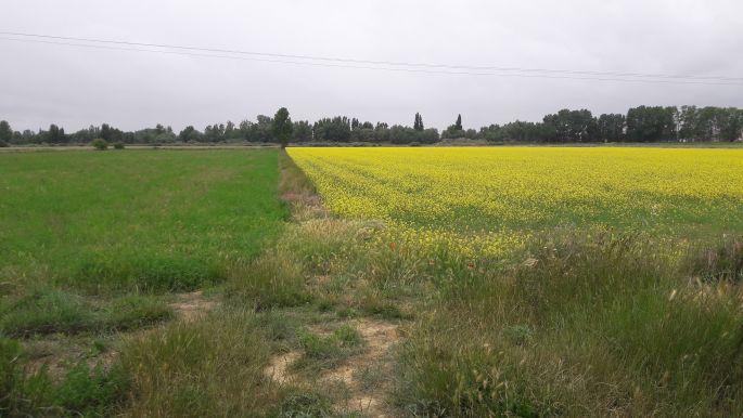 El camino, sárga repce mező